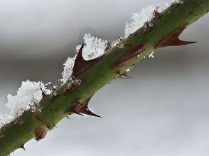 rose thorn & snow 2