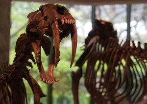 01_smilodon_lbtpm_photo